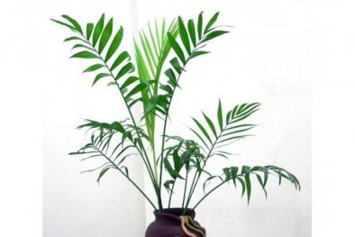 Khỏi cần mua máy lọc không khí hãy trồng cây cảnh này vừa hút khí độc vừa mang may mắn