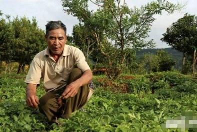 'Chặt cà phê' để 'trồng dược liệu', lão nông bất ngờ trở thành tỷ phú