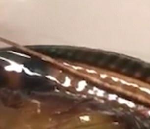 Suýt bị đưa vào lò nướng, cá mú may mắn được thả về biển khi đầu bếp phát hiện còn sống
