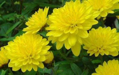 Cây độc: Hoa cúc để chơi Tết rất đẹp, nhưng trẻ con có thể dị ứng nếu dính nhựa cây này