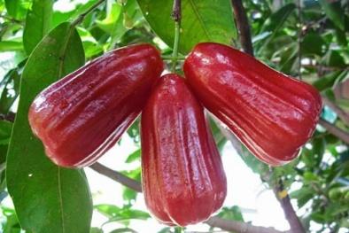 Kỹ thuật trồng cây roi đỏ quả thơm ngon sai trĩu cành bán hút khách
