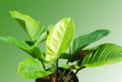 Gia chủ luôn thịnh vượng, phú quý nếu trồng cây đại đế xanh trong nhà