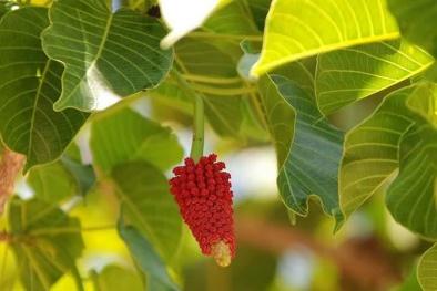 Dùng cây ba đậu làm thuốc không cẩn thận sẽ gây tử vong cực nhanh