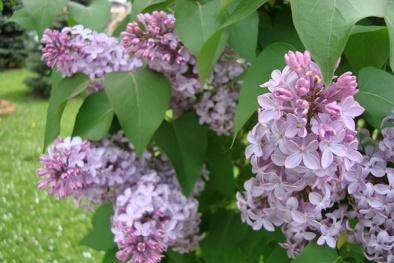 Trồng cây Tử Đinh Hương mang vẻ đẹp rực rỡ lại chữa bách bệnh tại nhà