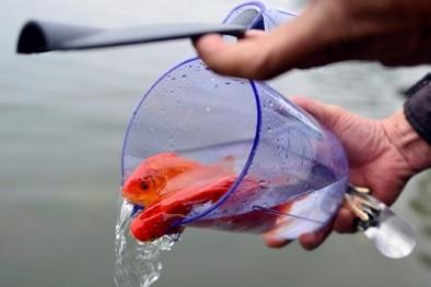 Thả cá chép phóng sinh vào Tết ông Táo nhất định phải biết điều này