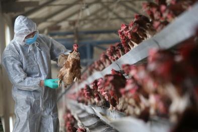 'Chặn' cúm gia cầm và các chủng vi rút cúm vào Việt Nam