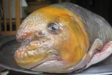 Mua cá Anh Vũ đầu vàng biếu Tết: Chi hàng chục triệu đồng 'dính' phải cá 'dỏm'