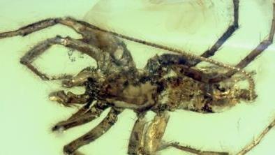 Phát hiện kinh ngạc loài nhện có đuôi niên đại 100 triệu năm