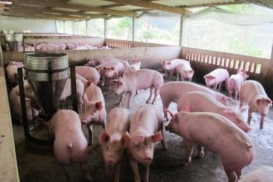 Giá cả thị trường ngày 8/2: Giá lợn hơi tại miền Bắc tiếp tục giảm nhẹ ở một số tỉnh