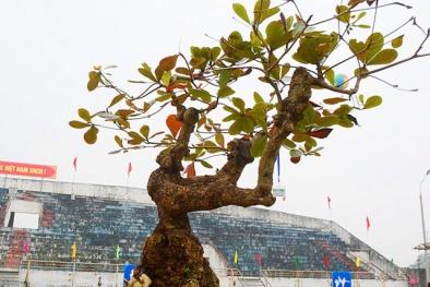 Cây bàng trăm tuổi dáng 'độc' gây náo loạn giới cây cảnh đẹp cỡ nào?