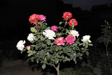 Kỹ thuật ghép hoa hồng thân gỗ nhiều màu đẹp ngỡ ngàng
