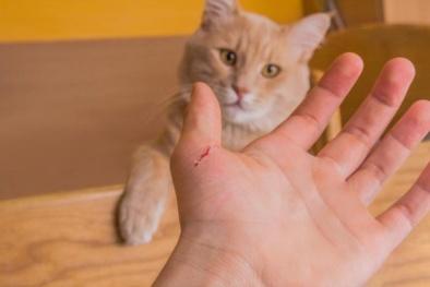 Tổn thương não, nhiễm trùng tim vì bị mèo cắn trong lúc chơi