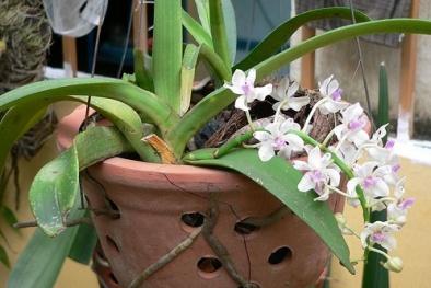Kỹ thuật trồng hoa lan không cần đất hoa nở đẹp ngỡ ngàng