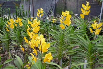 Kỹ thuật trồng hoa lan cắt cành đơn giản, hoa nở rực rỡ quanh năm
