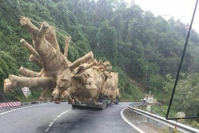 Lộ diện nguồn gốc 3 cây 'quái thú' vận chuyển qua nhiều tỉnh thành trên Quốc lộ 1