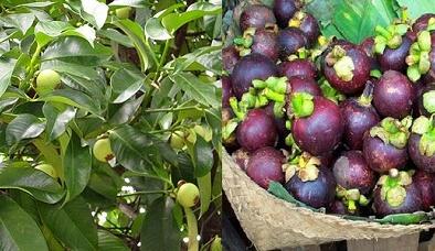 Kỹ thuật trồng cây măng cụt cho quả sai trĩu cành, ăn không xuể