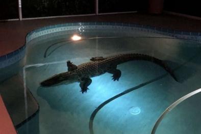 Phát hoảng khi phát hiện cá sấu trong bể bơi nhà mình