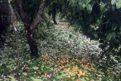 Gió mùa về kèm theo mưa đá xối xả khiến mận Sơn La rụng trắng gốc