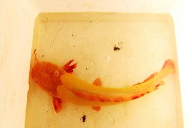 Quảng Ngãi: Nông dân bắt được cá trê vàng cực hiếm, đại gia trả ngay chục triệu không bán