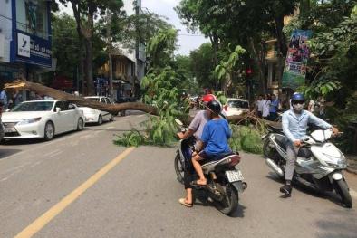 Hà Nội: Ô tô Lexus bất ngờ bị cây phượng cổ thụ cao 18 m bật gốc đè trúng