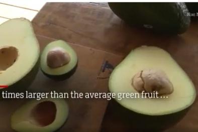 """Choáng quả bơ """"khủng"""" 1,8kg to gấp 5 lần quả thường giá gần 200 nghìn đồng/quả"""