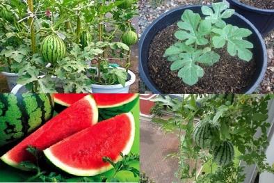 Kỹ thuật trồng cây dưa hấu trong chậu tại nhà cực dễ dàng