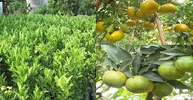 Kỹ thuật trồng cây quýt đường năng suất cao, quả thơm ngon