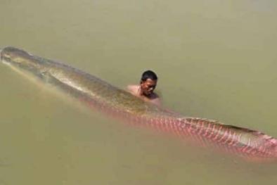 Tây Ninh: 'Quái vật Amazon' lại lọt lưới, ngư dân xẻ thịt đãi hàng xóm