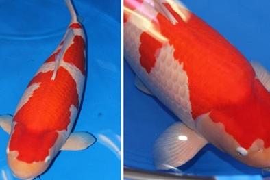 Có giá 42 tỷ đồng: Đây chính là chú cá Koi đắt nhất thế giới
