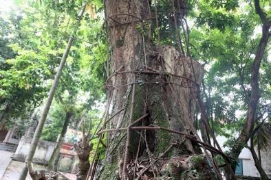 Số phận cây sưa trăm tuổi đang 'hấp hối' trị giá hàng trăm tỷ đã được định đoạt
