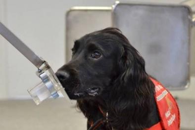 Kết quả nghiên cứu: Chó đánh hơi phát hiện bệnh tiểu đường