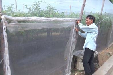 Táo trồng nhà lưới cho năng suất cao