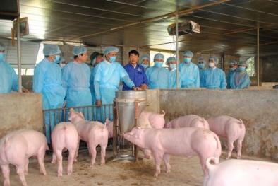 Huy động tổng lực phòng chống dịch tả lợn châu Phi
