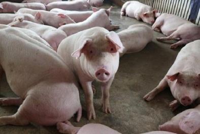 Giá lợn hơi tăng nhẹ nhưng vẫn chưa ổn định