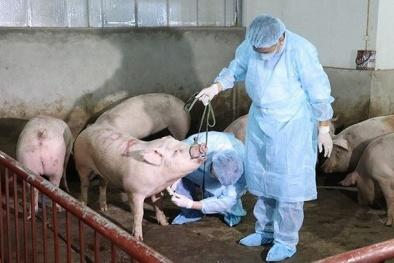 Ngăn chặn, tiến tới kiểm soát và loại bỏ bệnh dịch tả lợn Châu phi