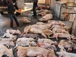 Hỗ trợ hộ chăn nuôi bị dịch tả lợn châu Phi theo cân nặng bằng 80% giá thị trường