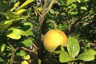 Phòng ngừa hiệu quả bệnh vàng lá, thối rễ ở cây có múi