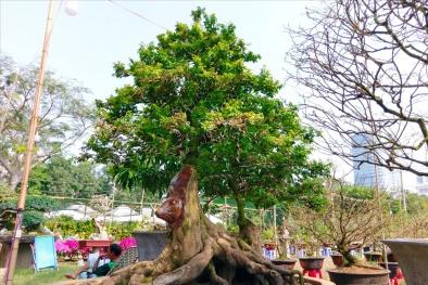 TP.HCM: Độc lạ với cây khế cổ thụ 'đầu chuột' có giá nửa tỷ đồng tại chợ hoa xuân