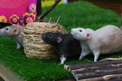 Chuột với nghiên cứu khoa học
