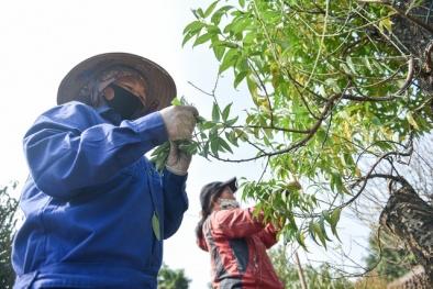 Người trồng đào Nhật Tân tất bật chuẩn bị vụ Tết