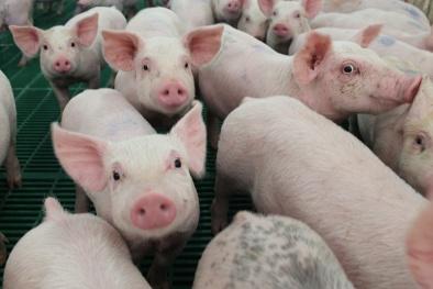 Dịch tả lợn Châu Phi tại Trung Quốc bắt nguồn từ loại vaccine không phép ?