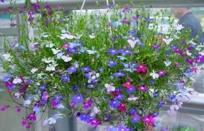 Kỹ thuật trồng cây hoa Thúy điệp chậu treo cho vườn nhà rực rỡ sắc hương