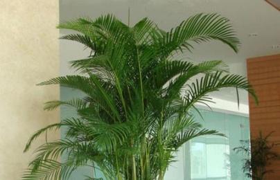 Trồng cây dừa cảnh trước nhà 'thần tài' sẽ gõ cửa quanh năm