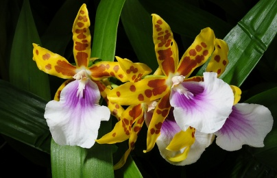 Kỹ thuật trồng hoa lan vũ nữ nở quanh năm mang vẻ đẹp mê mẩn