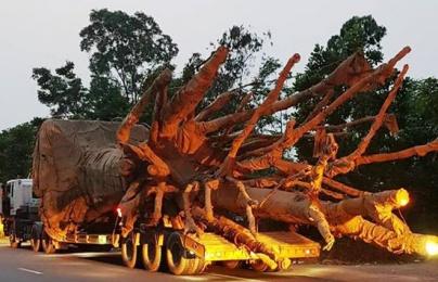 Xe chở cây 'quái thú' nghênh ngang trên quốc lộ: Bộ GTVT nói gì?