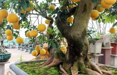 Bưởi Diễn bonsai xuống phố phục vụ Tết Nguyên đán