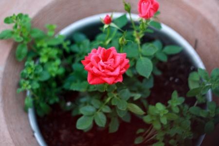 Kỹ thuật trồng cây hoa Hồng bằng củ khoai tây dễ sống và nhanh ra hoa