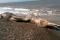Phát hiện xác sinh vật lạ đầu chim đuôi thú trôi dạt vào bờ biển Nga