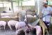 Hiệp hội Chăn nuôi Đồng Nai: Trực tiếp thu mua, giết mổ heo và bán với giá không lợi nhuận