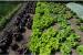 Công nghệ mới: Biến rau diếp thành 'nhà máy sản xuất' vắc-xin có thể ăn được